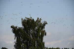 Vogelschwarm zu Besuch am 21. Juli 2019